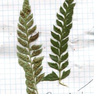 Photographie n°264781 du taxon Polystichum aculeatum (L.) Roth [1799]