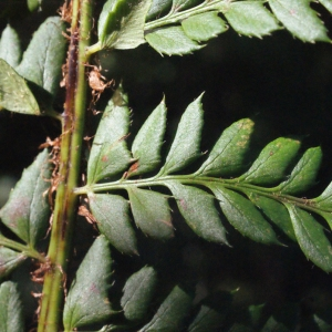 Photographie n°264783 du taxon Polystichum aculeatum (L.) Roth [1799]