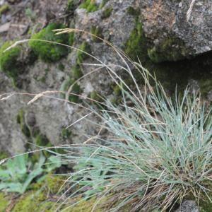 Photographie n°264792 du taxon Festuca L.