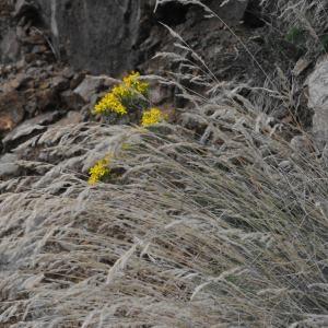 Photographie n°264794 du taxon Festuca L.