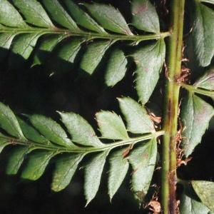 Photographie n°264803 du taxon Polystichum x bicknellii (H.Christ) Hahne [1905]
