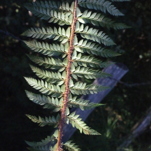 Photographie n°264805 du taxon Polystichum x bicknellii (H.Christ) Hahne [1905]