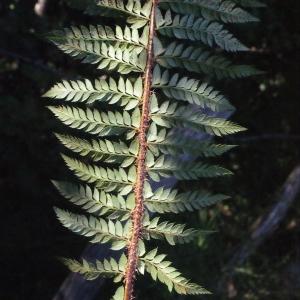 Photographie n°264808 du taxon Polystichum x bicknellii (H.Christ) Hahne [1905]