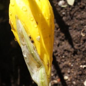 Photographie n°264894 du taxon Sternbergia sicula Tineo ex Guss.