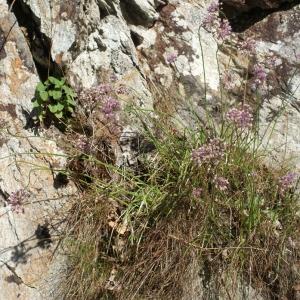 Photographie n°264941 du taxon Allium schoenoprasum L.