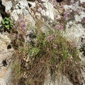 Photographie n°264942 du taxon Allium schoenoprasum L.