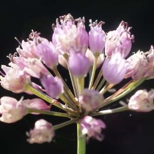 Photographie n°264943 du taxon Allium schoenoprasum L.