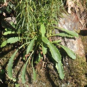Photographie n°264948 du taxon Anarrhinum bellidifolium (L.) Willd.