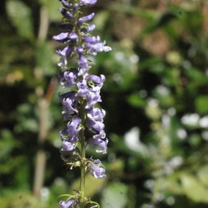 Photographie n°264954 du taxon Anarrhinum bellidifolium (L.) Willd.