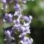 Liliane Roubaudi - Anarrhinum bellidifolium (L.) Willd. [1800]