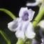 Liliane Roubaudi - Anarrhinum bellidifolium (L.) Willd.