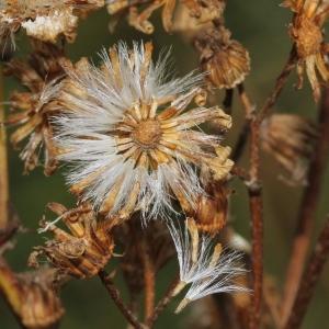 Photographie n°265010 du taxon Senecio jacobaea L. [1753]