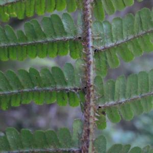 Dryopteris affinis subsp. cambrensis Fraser-Jenk. [1987] (Dryoptéris écailleux)