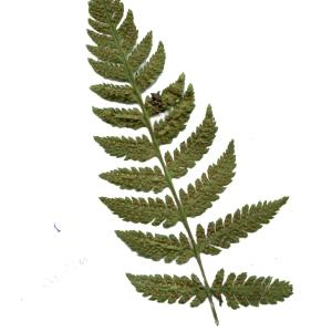 Dryopteris carthusiana var. elata auct. (Dryoptéris de Chartreuse)