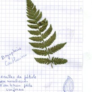 Photographie n°265070 du taxon Dryopteris carthusiana (Vill.) H.P.Fuchs [1959]