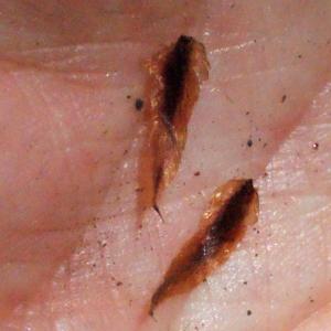 Dryopteris dilatata (Hoffm.) A.Gray (Dryoptéris dilaté)