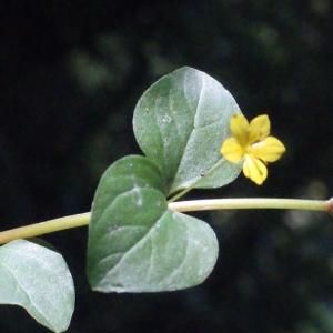 Photographie n°265143 du taxon Lysimachia nemorum L.