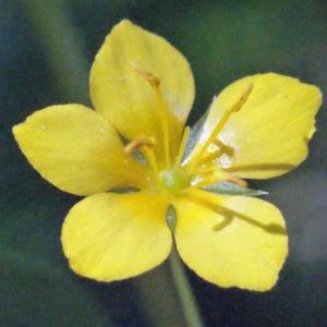 Photographie n°265147 du taxon Lysimachia nemorum L.