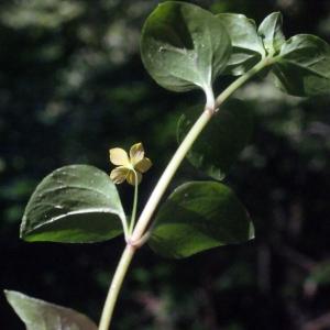 Photographie n°265151 du taxon Lysimachia nemorum L.