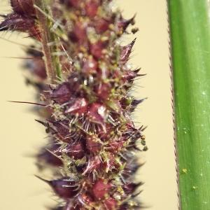 Echinochloa muricata (P.Beauv.) Fernald (Échinochloé muriqué)