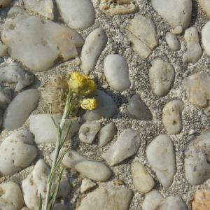 Photographie n°265194 du taxon Helichrysum arenarium (L.) Moench [1794]
