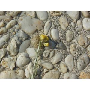 Gnaphalium elichrysum Pall. (Immortelle des sables)