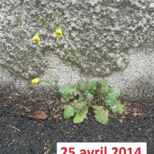 Photographie n°265234 du taxon Crépis de Nîmes