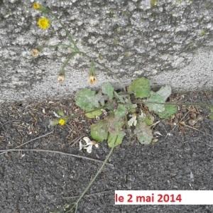 Photographie n°265235 du taxon Crépis de Nîmes