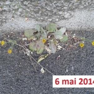 Photographie n°265236 du taxon Crépis de Nîmes