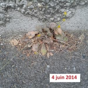 Photographie n°265237 du taxon Crépis de Nîmes