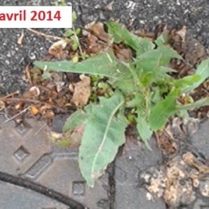 Photographie n°265295 du taxon Rumex à feuilles obtuses