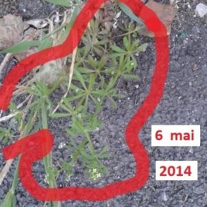 Photographie n°265327 du taxon Gaillet grateron