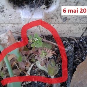 Photographie n°265328 du taxon Gaillet grateron