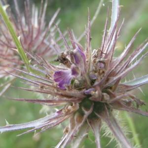 Photographie n°265386 du taxon Dipsacus L.