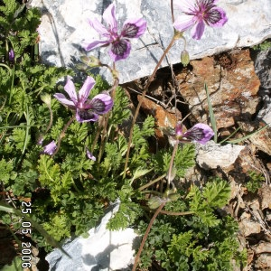 Photographie n°265395 du taxon Erodium glandulosum (Cav.) Willd. [1800]