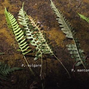 Photographie n°265446 du taxon Polypodium L.