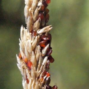 Photographie n°265522 du taxon Sporobolus indicus (L.) R.Br.