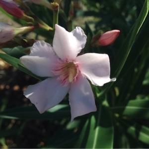 Photographie n°265703 du taxon Nerium oleander L. [1753]