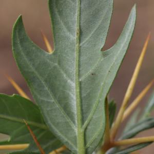 Photographie n°265733 du taxon Xanthium spinosum L. [1753]