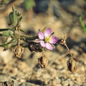 Photographie n°265788 du taxon Spergula rubra (L.) D.Dietr. [1840]