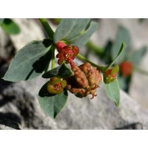 Euphorbia pyrenaica Jord. (Euphorbe petit-buis)