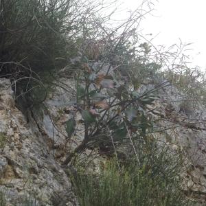 Brassica insularis Moris (Chou de Corse)