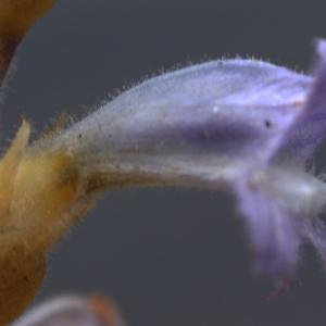 Photographie n°265983 du taxon Phelipanche ramosa (L.) Pomel [1874]