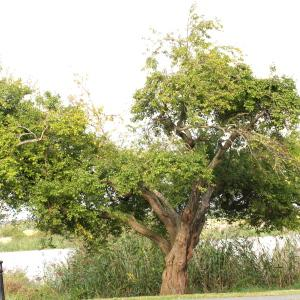 Photographie n°266100 du taxon Prunus cerasifera Ehrh.