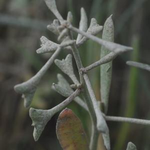 Photographie n°266120 du taxon Halimione pedunculata (L.) Aellen [1938]