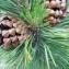 Dominique Remaud - Pinus montana subsp. uncinata (Ramond ex DC.) Celak.