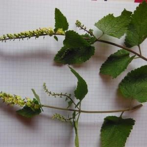 Photographie n°266319 du taxon Teucrium scorodonia L.