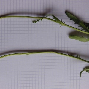 Photographie n°266360 du taxon Chrysanthemum leucanthemum L. [1753]