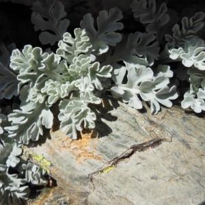 Photographie n°266365 du taxon Senecio leucophyllus DC.