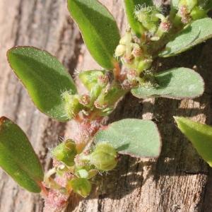 Photographie n°266447 du taxon Euphorbia prostrata Aiton